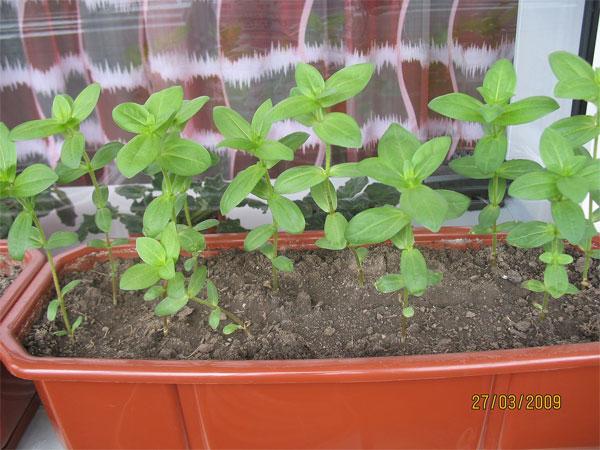 Циния выращивание в домашних условиях