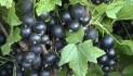Смородина черная сорт Белорусская сладкая