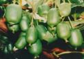 Актинидия коломикта  сорт Северный ананас