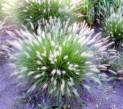 Пеннисетум лисохвостовый Хамельн