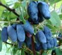 Жимолость голубая сорт Мария
