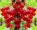 Смородина красная сорт Голландская