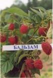 Малина сорт Бальзам