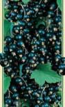 Смородина черная сорт Бона