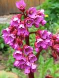 Бадан сердцелистный Пурпуреа