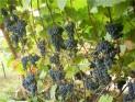 Виноград амурский Амурский Прорыв