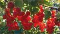 Смородина красная сорт Йонкер ван тетс