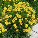 Кореопсис крупноцветковый Баден Гольд