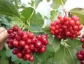 Калина садовая сорт Таёжный рубин