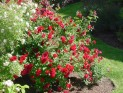 Роза плетистая Квадра