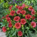 Гайлардия крупноцветковая Бургунди