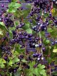 Виноградовник железистыйЭлеганс