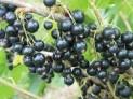 Смородина черная сорт Рубен