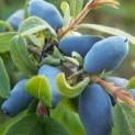 Жимолость голубая сорт Ботаническая