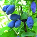 Жимолость голубая сорт Нарымская