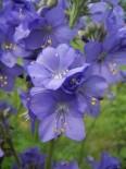 Синюха