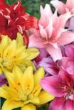 Лилия азиатские гибриды, махровые