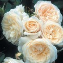 Розы английские, кустовые и парковые